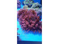 MARINE FISH / LOVELY ROSE QUADRICOLOUR ANEMONES GREAT COLOUR