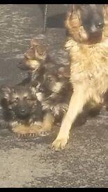 10 week old german shepard pup ready to go now 400