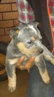 Pure Blue Cattle puppies  Denman Muswellbrook Area Preview