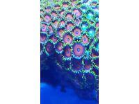 MARINE FISH / NICE SIZE AND COLOUR ZOA COLONY