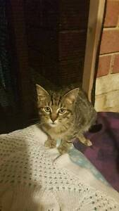 AK1319 : Beekie - KITTEN for ADOPTION - Vet work included Tuart Hill Stirling Area Preview