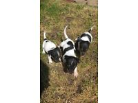 Female Jack Russell Puppies