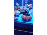 MARINE FISH / LOVELY LITTLE PAIR OF CONVICT TANGS BOTH ARE FEEDING WELL ON ALL FOODS