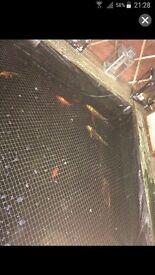 30 ghost koi carp and 4 goldfish