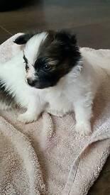 Papillion pups for sale