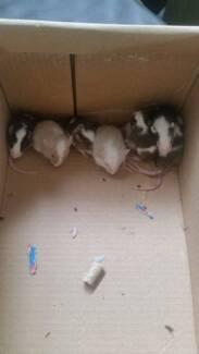 Berkshire Baby Rats & Baby mice Port Macquarie 2444 Port Macquarie City Preview
