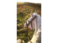 PART LOAN - Irish cob 14.3 Gelding