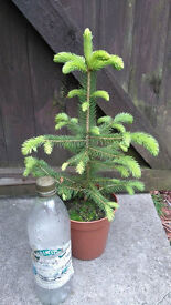 COLORADO BLUE pine young tree (picea pungens glauca)
