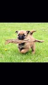 Pug x Cairn Terrier