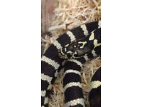 2 Year Old Jungle Corn Snake