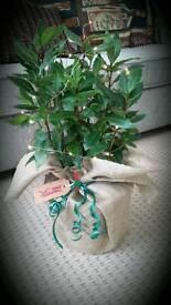 Bay plant guft