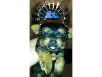 Beautiful teacup yorkshire terrier pups
