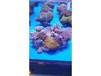 MARINE FISH / I HAVE TWO XXL CORAL GARDENS WITH OVER 20 + DIFFERENT CORALS PER GARDEN
