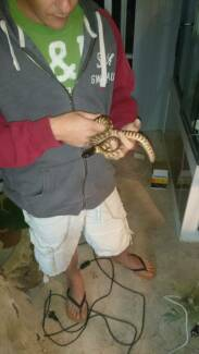 Black Headed Python Carbrook Logan Area Preview
