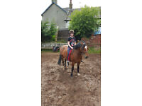 14hh Welsh D mare for part loan/share