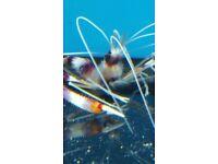 MARINE FISH / BEAUTIFUL COLOUR BANDED SHRIMP