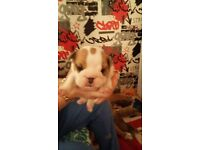 british bulldog puppies 5 weeks old kc registered red and white viewing now
