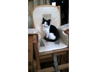 MISSING FEMALE 7 MONTH OLD CAT CWMBRAN. REWARD OFFERED.
