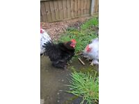 TWO COCKS FOR SALE