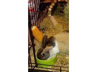 17 week rabbit for sale
