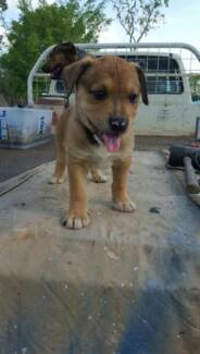 Mixed Breed Pups For Sale (only 3 left) Southport Litchfield Area Preview