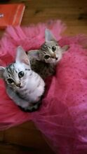 Ocicat Kittens - Lounge room Leopards Deception Bay Caboolture Area Preview