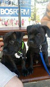 English Staffy pups (3) Noosaville Noosa Area Preview