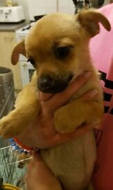 3/4 Chihuahua 1/4 Yorkie Pups Reduced £350 Ready Now