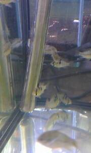Blue Ram 3.5 cm $13.8 North Willoughby Willoughby Area Preview