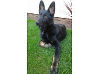 2 Year Old Black German Shepherd KC Regd All Papers