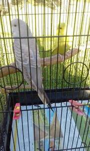 LOVELY BABY BUDGIES FOR SALE PERFECT FOR TAMING 6 WEEKS OLD! North Richmond Hawkesbury Area Preview