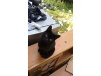 Black neutered tom cat still missing