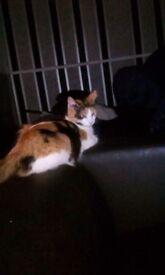 Lovely black and white ginger female cat