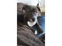 Staffordshire Bull Terrier Cross Ridgeback Dog for sale