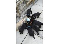 lovely kc registered labrador puppies