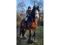 Gypsy 13.2hh 7yo Cob available for part loan in Arborfield