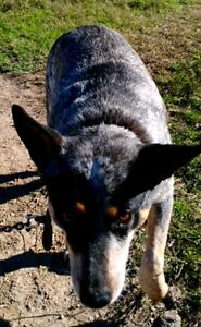 Blue Heeler Found Booubyjan Booubyjan Gympie Area Preview