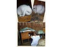 2 female mini lop rabbits plus cage