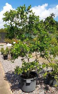 Guava tree, just about to fruit. Darwin CBD Darwin City Preview