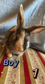 Netherland Dwarfs & Mixed Breeds