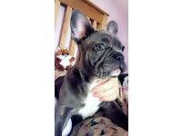 Beautiful Female Frenchbulldog Puppy For Sale