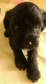 Schnoodle puppies 2 male and 1 female