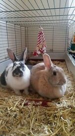 2 bunnies for sale with cage.