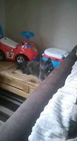 Blue cat female