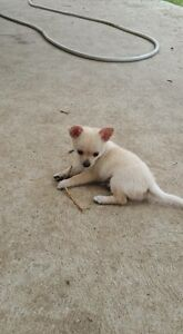 Chihuahua x Pomeranian Thirlmere Wollondilly Area Preview