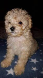 Teacup poodle/ Maltese Belmont Lake Macquarie Area Preview