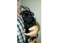 Black Pug Puppies KC Reg.