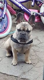 14 month old french bulldog lovely blue sable colour DOG