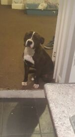 Male Staffy For Sale