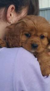 Purebred Cavalier Spaniel puppies Gawler Gawler Area Preview